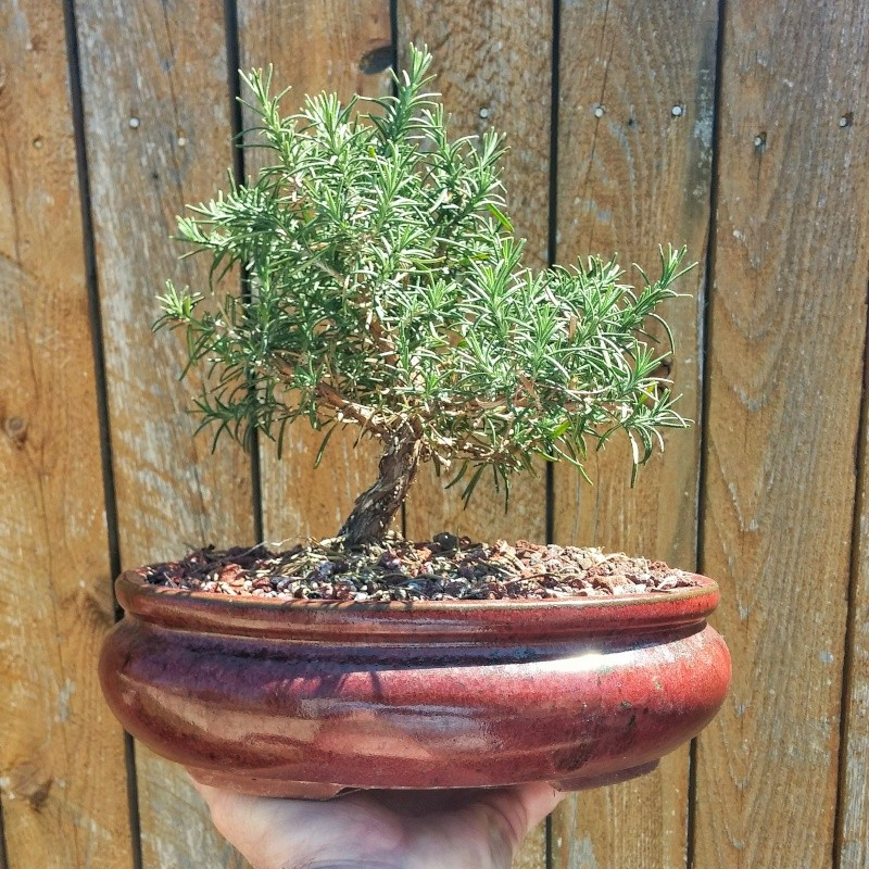 Super Rosemary Bonsai Your Opinion On Which Way To Style It Zipur Mohammedshrine Wiring Diagrams Zipurmohammedshrineorg