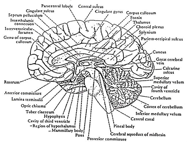 Pleasing Diagram Of The Sagittal View Auto Electrical Wiring Diagram Zipur Mohammedshrine Wiring Diagrams Zipurmohammedshrineorg